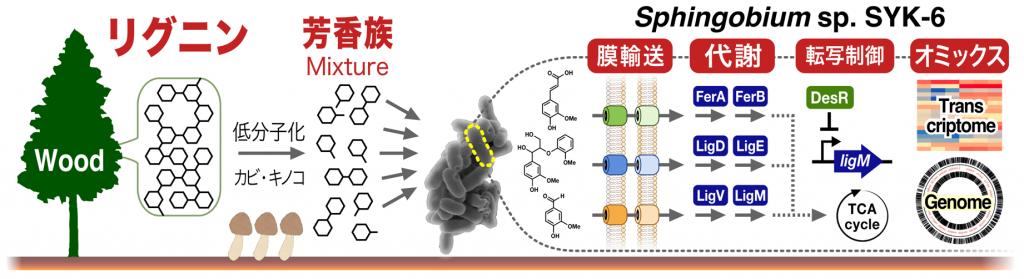 Kamimura N et al. Environ Microbiol Rep